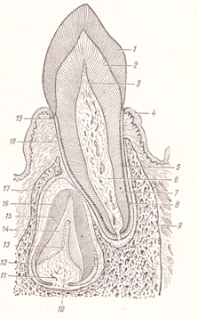Части зуба