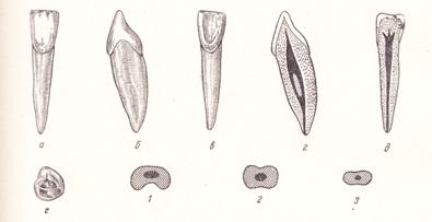 Постоянные зубы