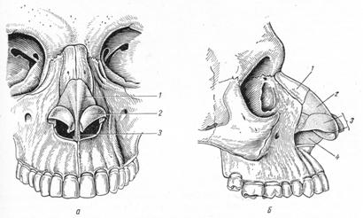 Наружный нос