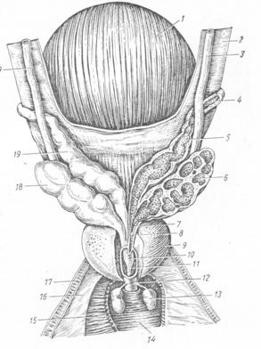 Семявыносящие пути