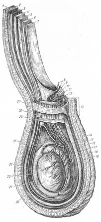 Семенной канатик, оболочки семенного канатика и яичка