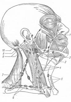 ЛИМФАТИЧЕСКАЯ СИСТЕМА ЧАСТЕЙ ТЕЛА И ВНУТРЕННИХ ОРГАНОВ: Органы головы и шеи