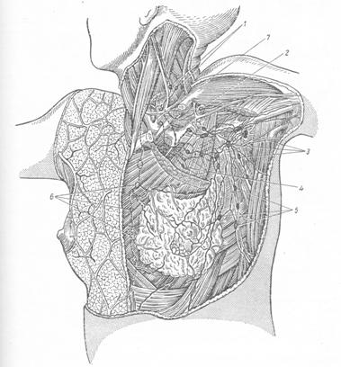 ЛИМФАТИЧЕСКАЯ СИСТЕМА ЧАСТЕЙ ТЕЛА И ВНУТРЕННИХ ОРГАНОВ: Грудная стенка и органы грудной полости